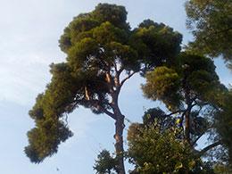 Δεκαπέντε δένδρα για την Αθήνα